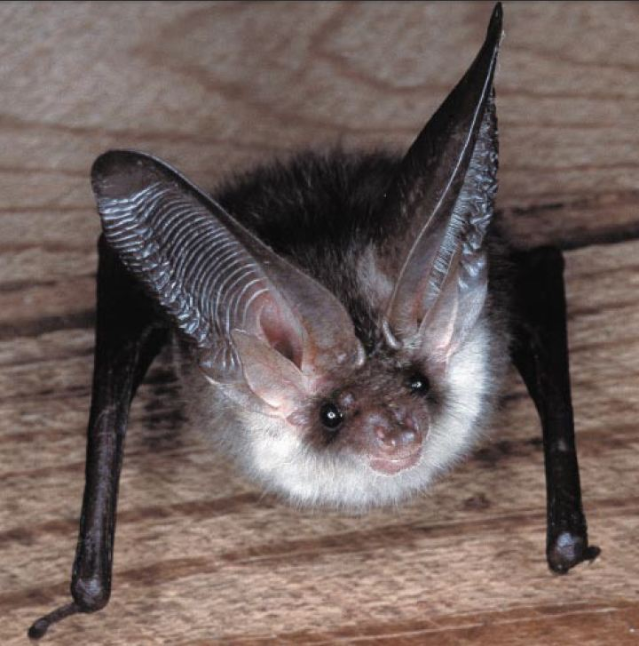 Do It Yourself Home Design: Bats – But Not In The Belfry
